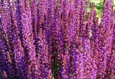 Violet flowers. A lot of violet flowers in sunset light Stock Photos