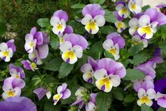Violet flowers. A detailed view of some seedlings of violets Stock Images