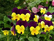 Violet flowers. A detailed view of some seedlings of violets Royalty Free Stock Image