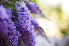 Violet flowers Stock Images