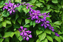Violet flowers against green leaves Stock Photography