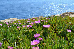 Violet flowers, Aizoaceae, Kaffir fig on the coast Royalty Free Stock Photo
