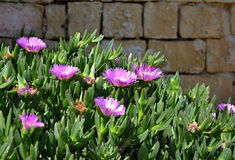 Violet flowers, Aizoaceae, Kaffir Fig, in front of the stone wall Stock Photography