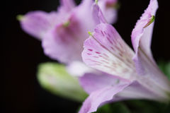 Violet flowers alstroemeria Stock Photo