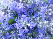 Violet flowers as abstract floral background Stock Photography