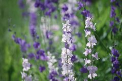 Violet flowers background Royalty Free Stock Photography