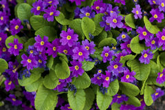 Violet flowers background. Stock Images