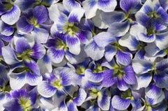 Violet Flowers For Background. Imagenes de archivo