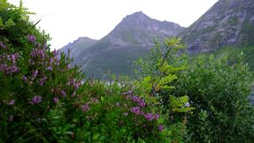 Violet flowers on a background of mountains. Heather is swaying in the wind close-up stock video footage