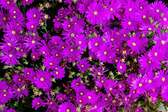 Violet flowers background Stock Photography