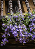 Violet flowers on the balcony Stock Photo