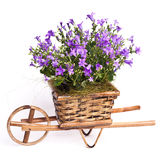 Violet flowers in basket Royalty Free Stock Image