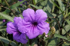Violet flowers. Are beautiful and  amazing Royalty Free Stock Photos