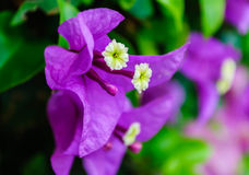 Violet flowers 1 Stock Images