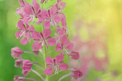 Violet flowers Royalty Free Stock Images