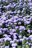 Violet Flowers Bed Royalty Free Stock Photo