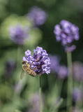 Violet flowers with a bee sitting on one of them. This image shows some violet flowers with some dark green leaves around them. There& x27;s a bee sitting on royalty free stock image