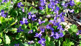 Violet flowers with bees and other insects on spring meadow stock video footage