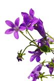 Violet flowers of bellflower Campanula with young green leaf and stalks visible on white background. Violet flowers of bellflower Campanula with young green Stock Image