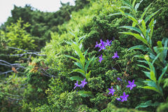 Violet flowers are bells in green wild bushes. Horizontal frame. Violet flowers are bells in green wild bushes Royalty Free Stock Image