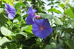 Violet flowers bindweed stock photo