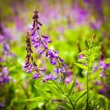 Violet flowers a bird vetch Stock Images