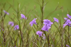 Violet flowers bloom on a tree in the morning. This picture shooting in garden Stock Photography