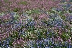 Violet flowers blossom Stock Photos