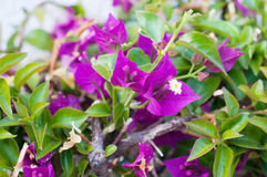 Violet flowers bougainvillea on a bush Royalty Free Stock Photos