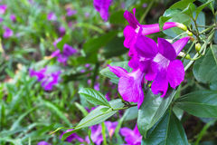 Violet flowers Royalty Free Stock Photography