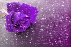 Violet rose flower with bubbles and violet shaded textured background, vector illustration.