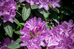 Violet flowers and bumblebee. In garden Stock Image