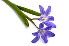 Violet flowers of Chionodoxa luciliae, Glory of the snow Stock Image