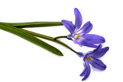 Violet flowers of Chionodoxa luciliae, Glory of the snow Stock Photography