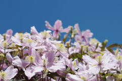 Flowers of clematis on blue sky Royalty Free Stock Photo