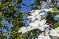 Violet flowers of clematis on blue sky in sunny day stock photography