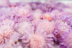 Violet flowers closeup, blurred blossom background Stock Photography