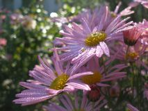 Michaelmas daisy new york aster. Closeup of Violet flowers with droplets in garden Royalty Free Stock Photography