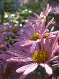Michaelmas Daisy New York Aster. Closeup of Violet flowers with droplets in garden Royalty Free Stock Image