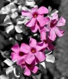 Violet Flowers Colour Pop Royalty Free Stock Image