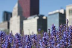 Violet Flowers con el horizonte de Chicago imagen de archivo