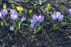 Violet flowers of crocus in the garden Stock Photos
