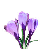 Violet flowers of crocus Royalty Free Stock Image