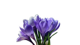 Violet flowers of crocus isolated Royalty Free Stock Images
