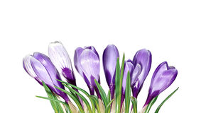 Violet flowers of crocus isolated Stock Images