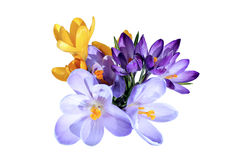 Violet flowers of crocus isolated Royalty Free Stock Image