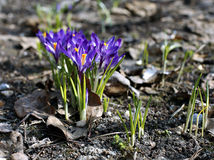 Violet flowers of crocuses Stock Images