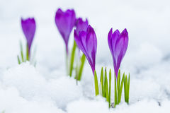 Violet flowers crocuses. Growing on the snow Royalty Free Stock Image