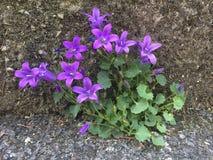 Violet Flowers en la pared y el asfalto Imágenes de archivo libres de regalías
