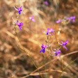Violet flowers in a field Royalty Free Stock Photography
